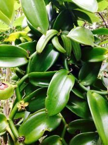 vanilla pods banana organic vanilla for organic cosmetic fragrance
